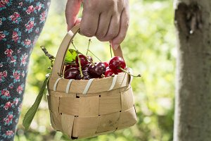 Woman picking cherries with basket