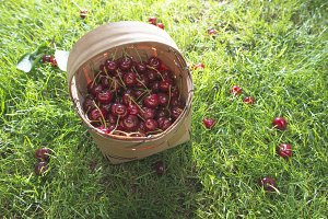 Morello Cherries in basket on green