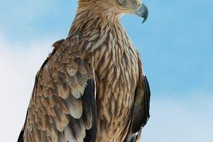 A hawk eagle