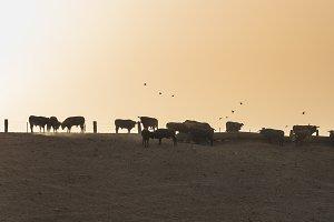 Bulls on a farm