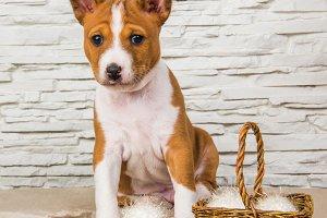 Funny Basenji puppy dog with white