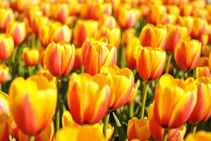Yellow-red tulips