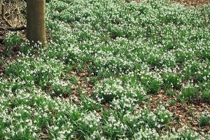 Snowdrop field blooming