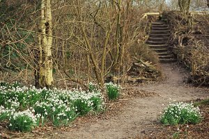 Snowdrops on the forest pathway
