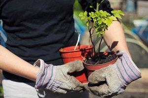 Gardener holding raspberry plants