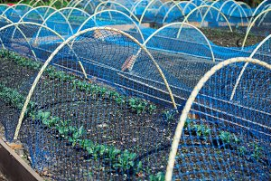 Fresh plantings under bird net