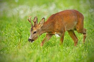 Young roe deer walking on hay field