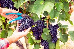 Winemaker Harvesting Grapes