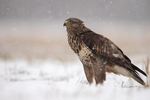 Common buzzard standing on the