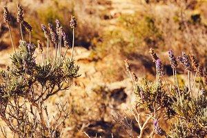 Mountains flowers, lavanda