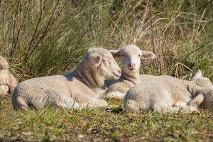 Beautiful and innocent lamb resting