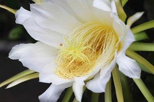 Dragon fruit flower 3