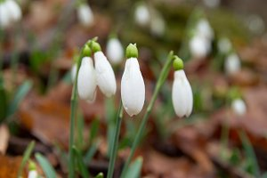 Spring flowers- snowdrops.