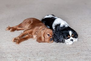 Two dogs sleeping together