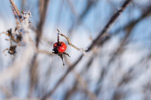 Red cankerberry onfrost tree branch