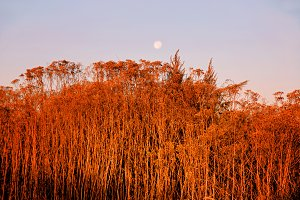 Red color of dried autumn grass as