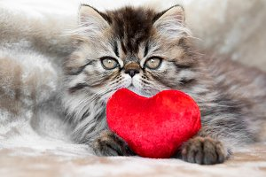 Funny Persian kitten cat with red
