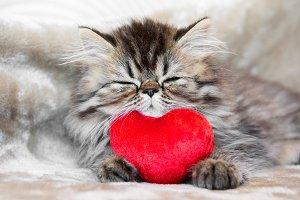 Funny Persian kitten cat is sleeping