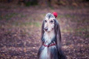 Dog, Afghan hound with a flower