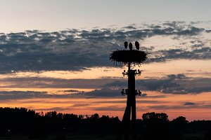 Family of storks in their nest durin