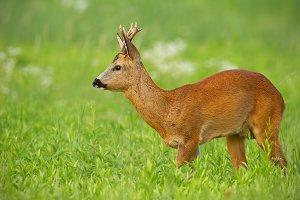 Young roe deer walking on green