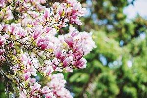 Bright closeup magnolia tree blossom