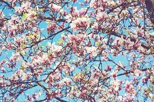 Closeup of magnolia tree blossom