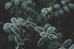 Dark Frosty Winter Leaves