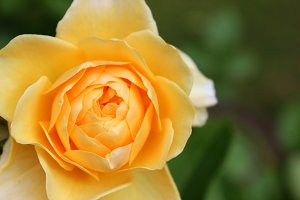Yellow Rose Flower