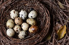 A nest filled with fresh quail eggs  by  in Holidays