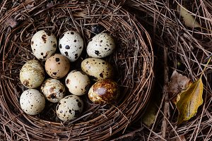 A nest filled with fresh quail eggs