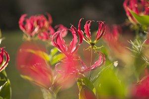 Flame Lilies