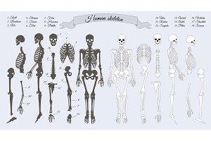Human Skeleton. White and Black