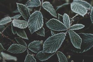 Dark Icy Leaves in Winter