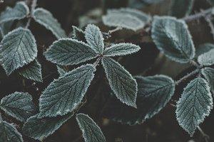 Dark Frosty Leaves in Winter