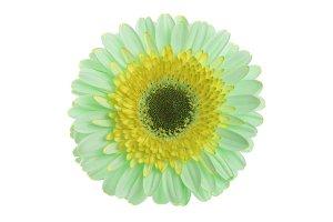 Green and yellow gerbera flower