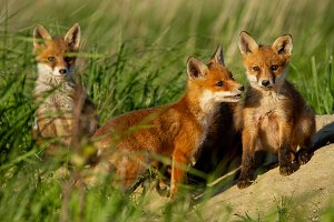 Red fox small young cubs near den
