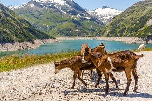 Brown goats