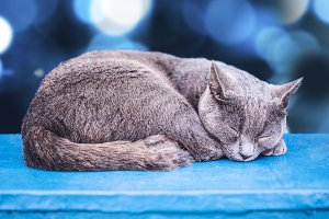 Gray cat, sleeping.
