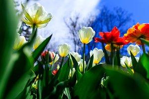 Red, yellow, orange and white tulips