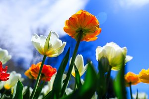 Colorful tulips on a spring day