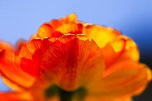 Colorful orange tulip in spring day