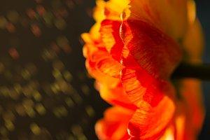 Gorgeous red, yellow, orange tulip