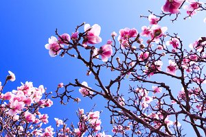 Blooming magnolia tree as background