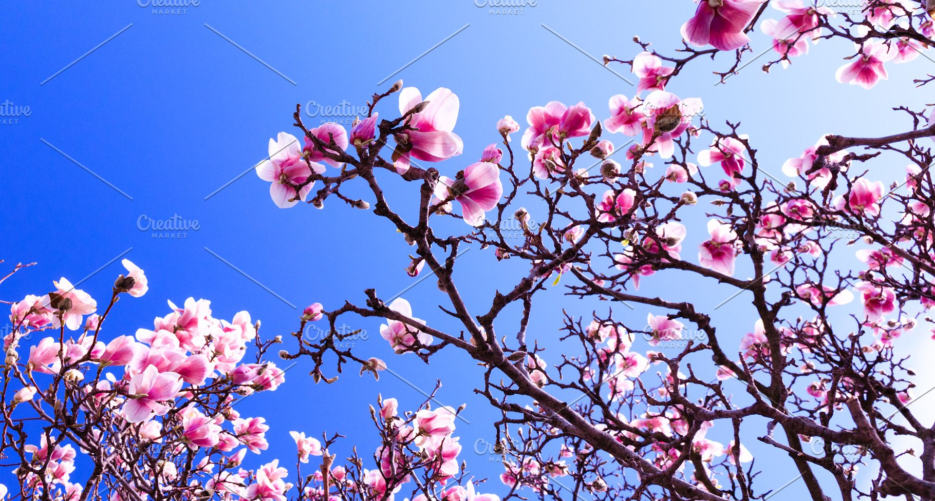 Blooming Magnolia Tree As Background Nature Photos Creative Market