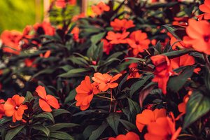 Texture of red flowers and green