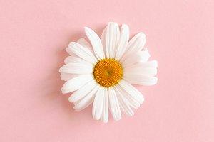 White chamomile flower
