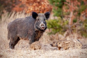 Wild boar family in nature with sow