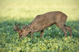 Roe deer buck feeding on rapeseed