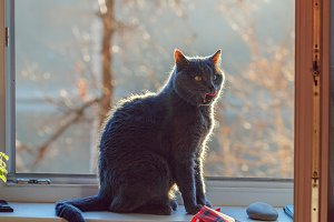 Grey cat on window